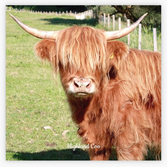 New Style L57 Coaster: Highland Coo