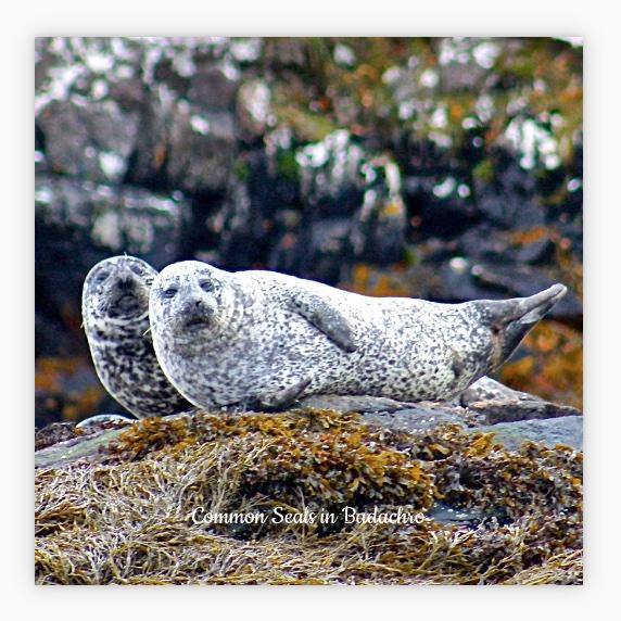 New Style  L57 Coaster: Common Seals
