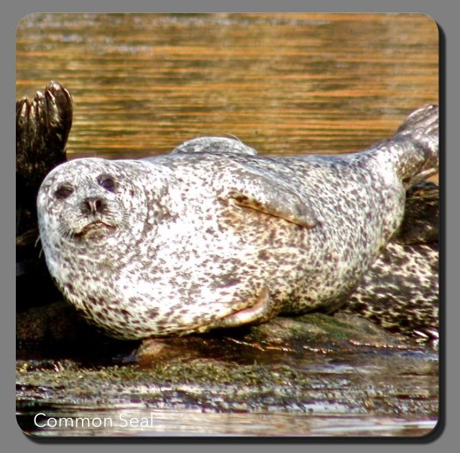 L57 Common Seals Coaster SALE (£3.50)