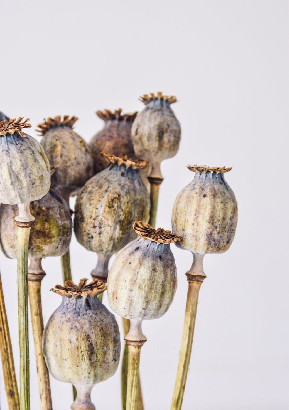 Dried Poppy Seed Heads (local delivery/collection only)