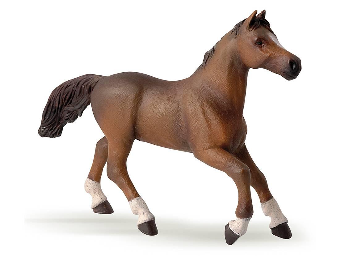 Häst Angloarab Brun