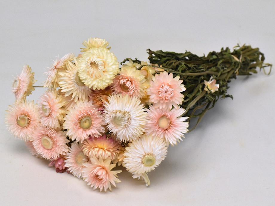 Tørrede blomster, Helichrysum cream