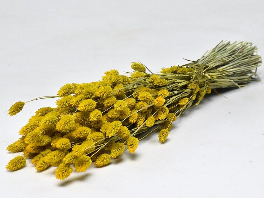 Tørrede blomster, Phalaris gul