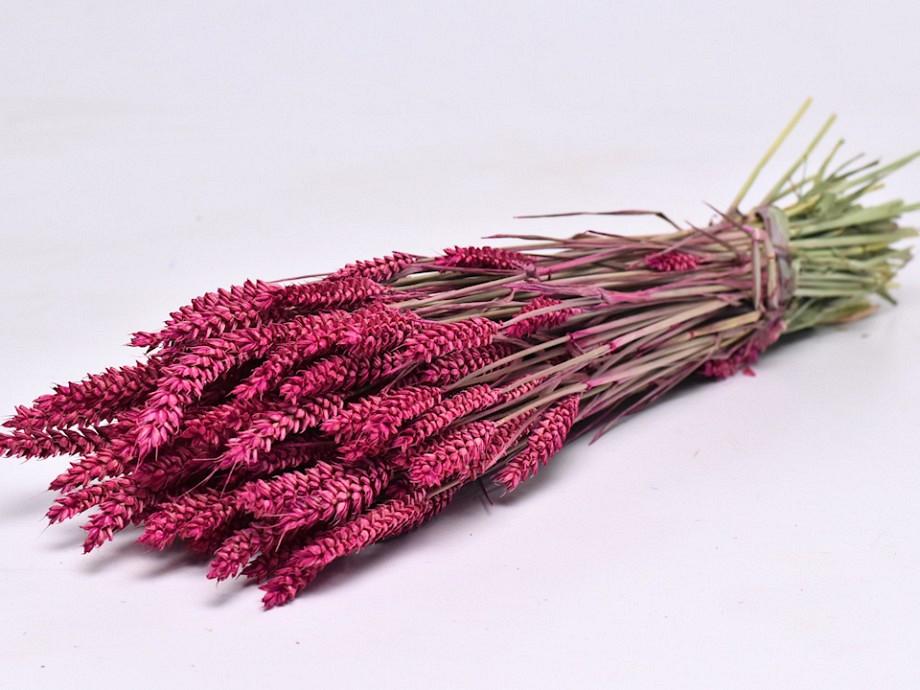 Tørrede blomster, Triticum pink