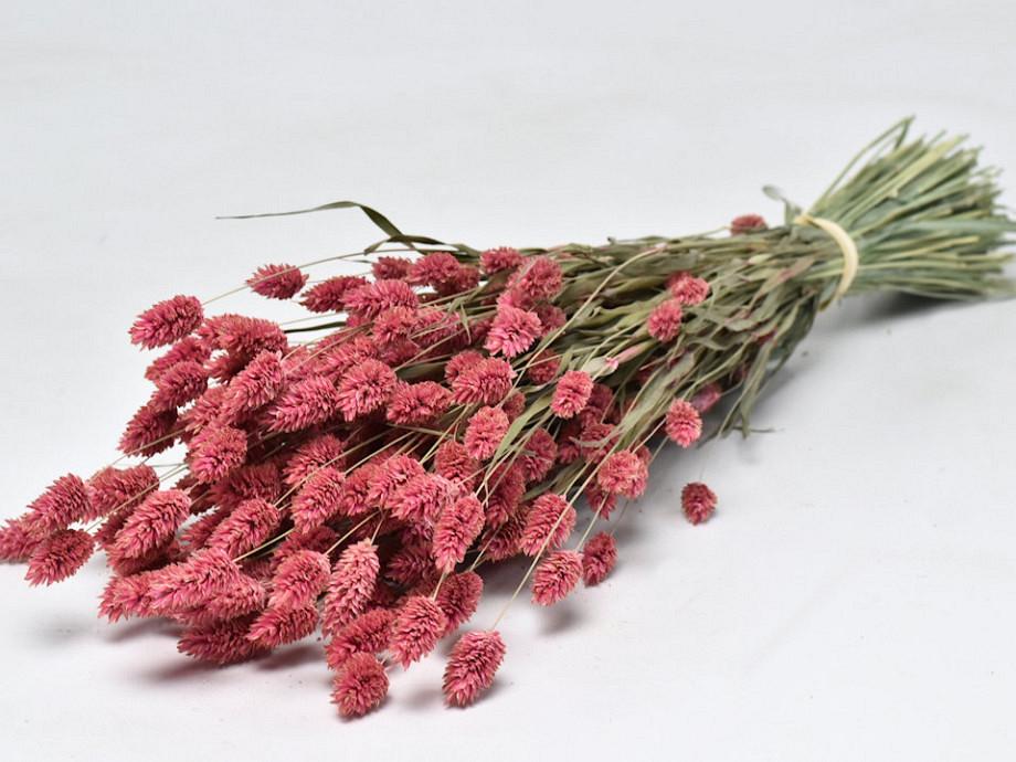 Tørrede blomster, Phalaris pink