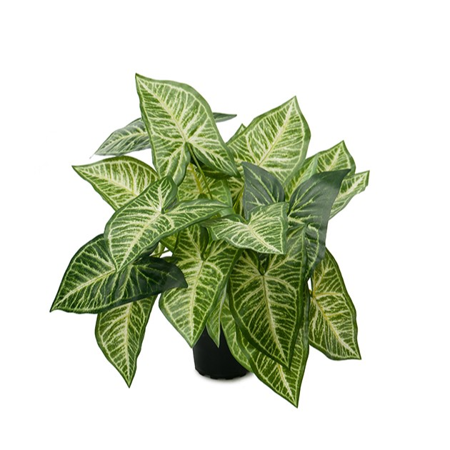 Caladium - grønnplante