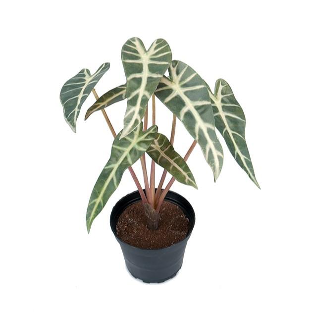 Alocasia - grønnplante