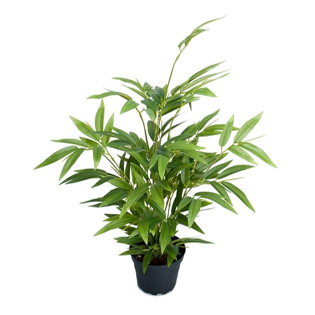 Bambus-plante