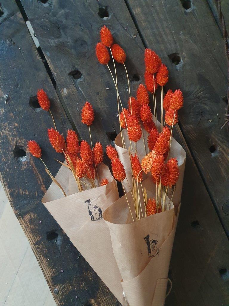 Phalaris Orange (BU)