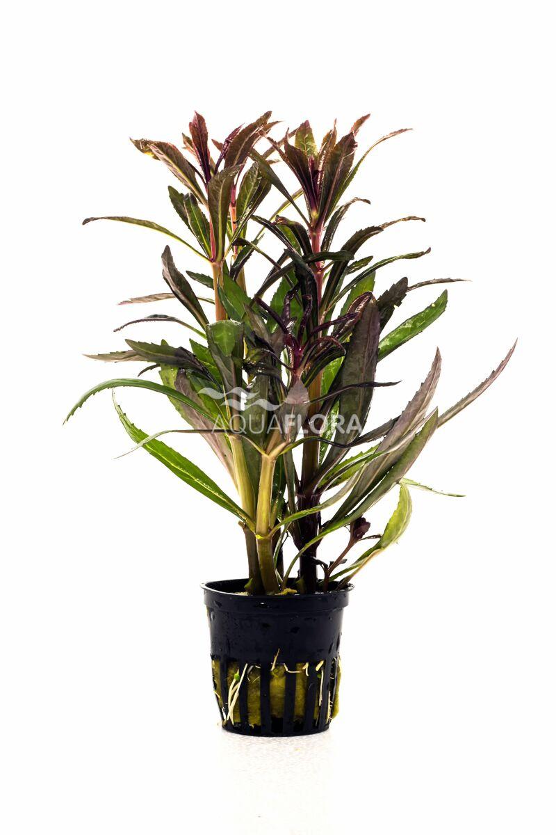 Aquaflora pogostemon stellatus 'ruba'