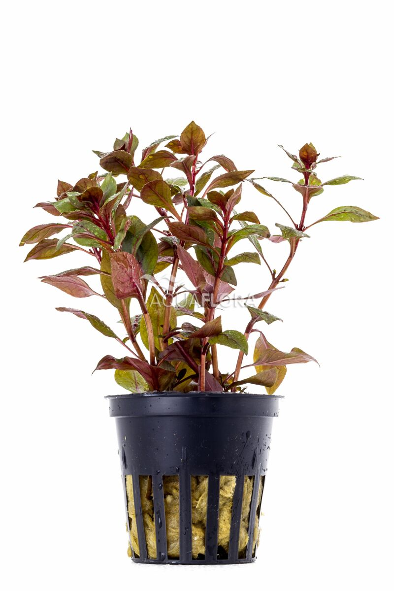 Aquaflora Ludwigia 'mini super red'