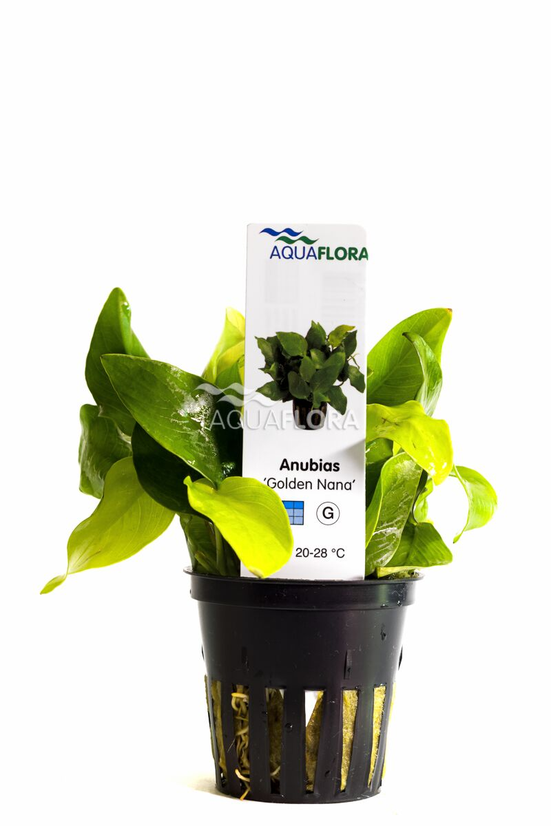 Aquaflora Anubias nana golden