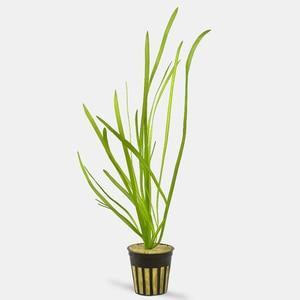 Aquaflora Vallisneria asiatica