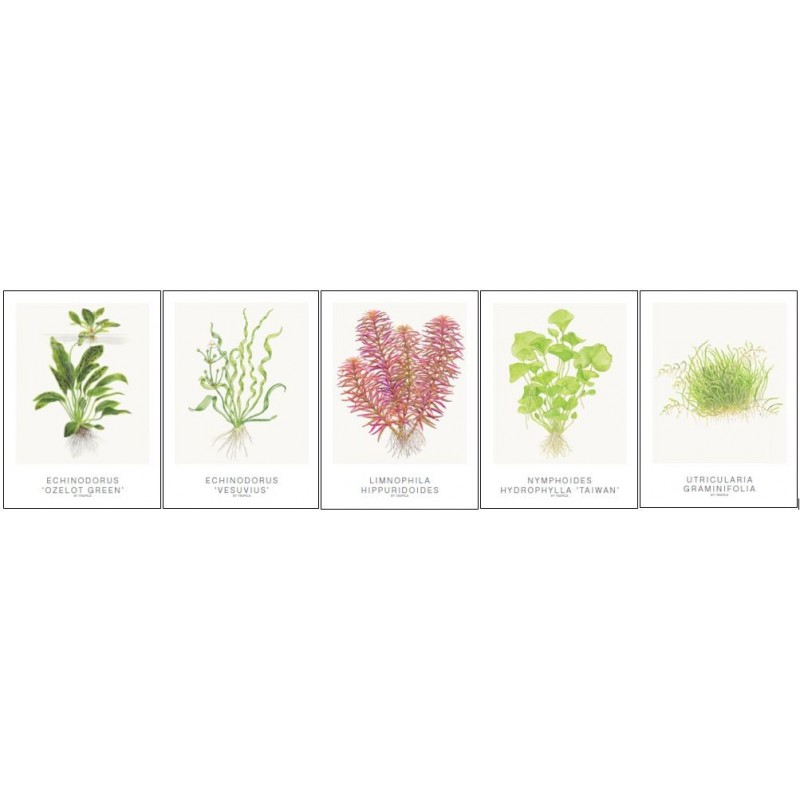 Tropica Art Cards set of 5 (Echinodorus)