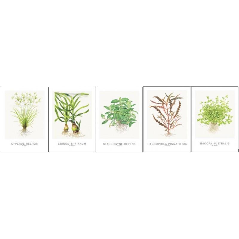 Tropica Art Cards set of 5 (Cyperus)