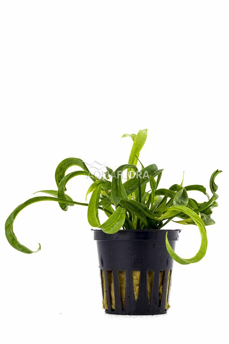 Aquaflora Helanthium bolivianum 'vesuvius'