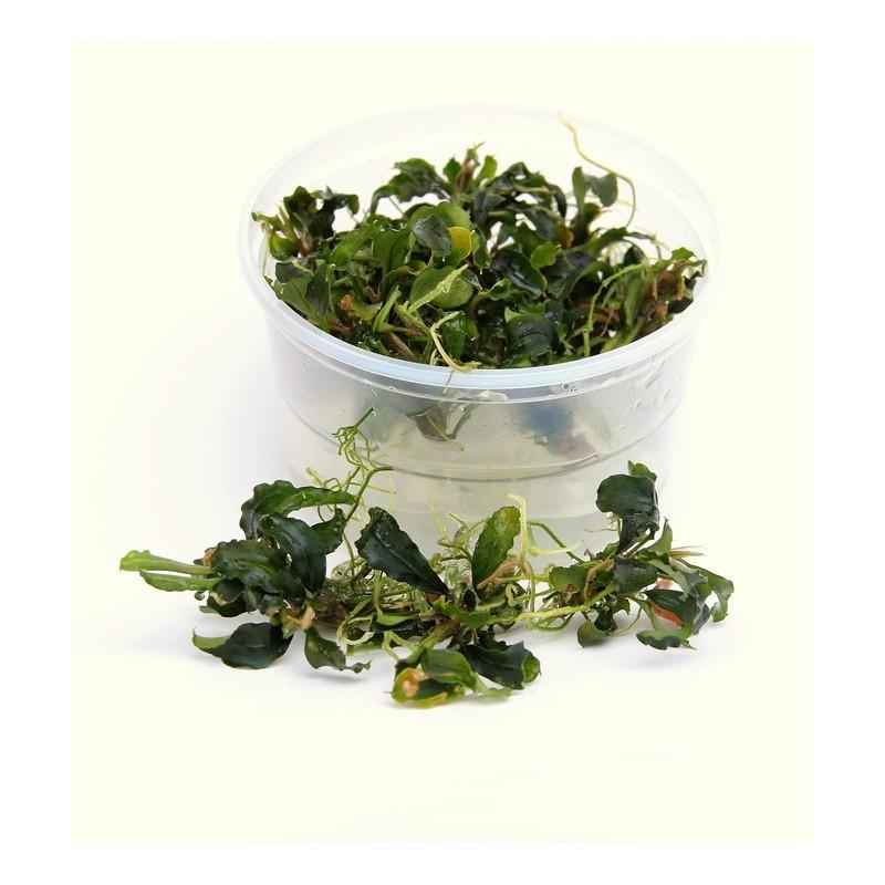 Dennerle Plant it - Bucephalandra Wavy Leaf
