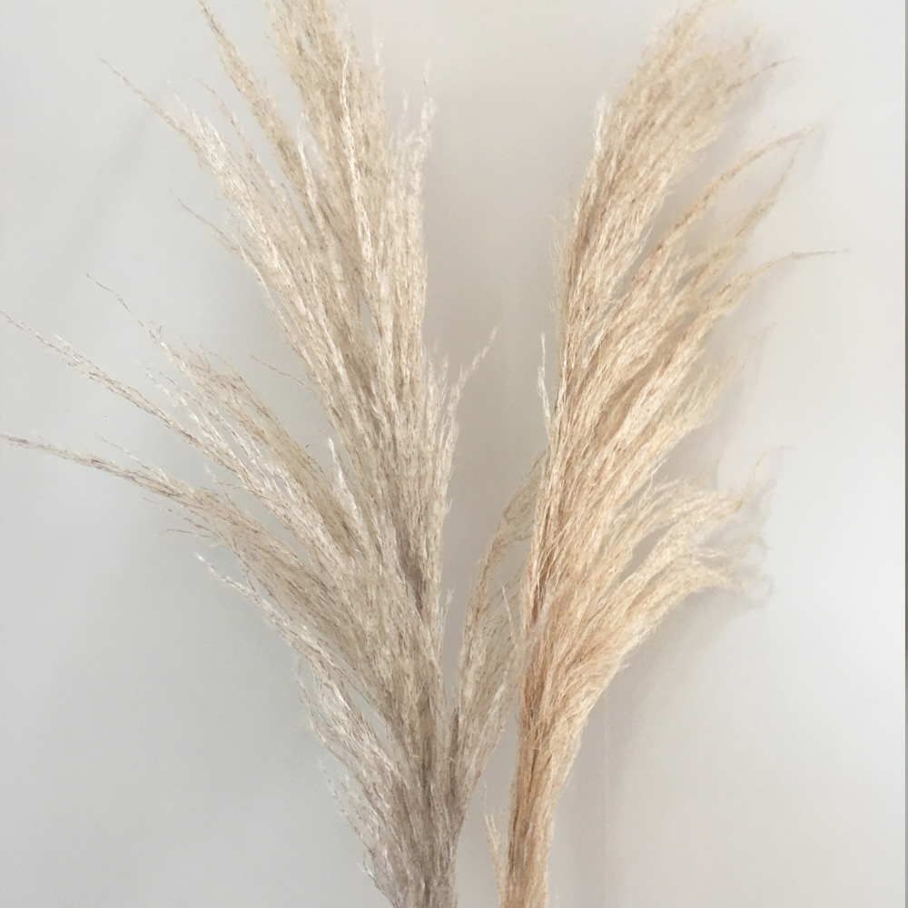 Pampas Grass - Dry Stems