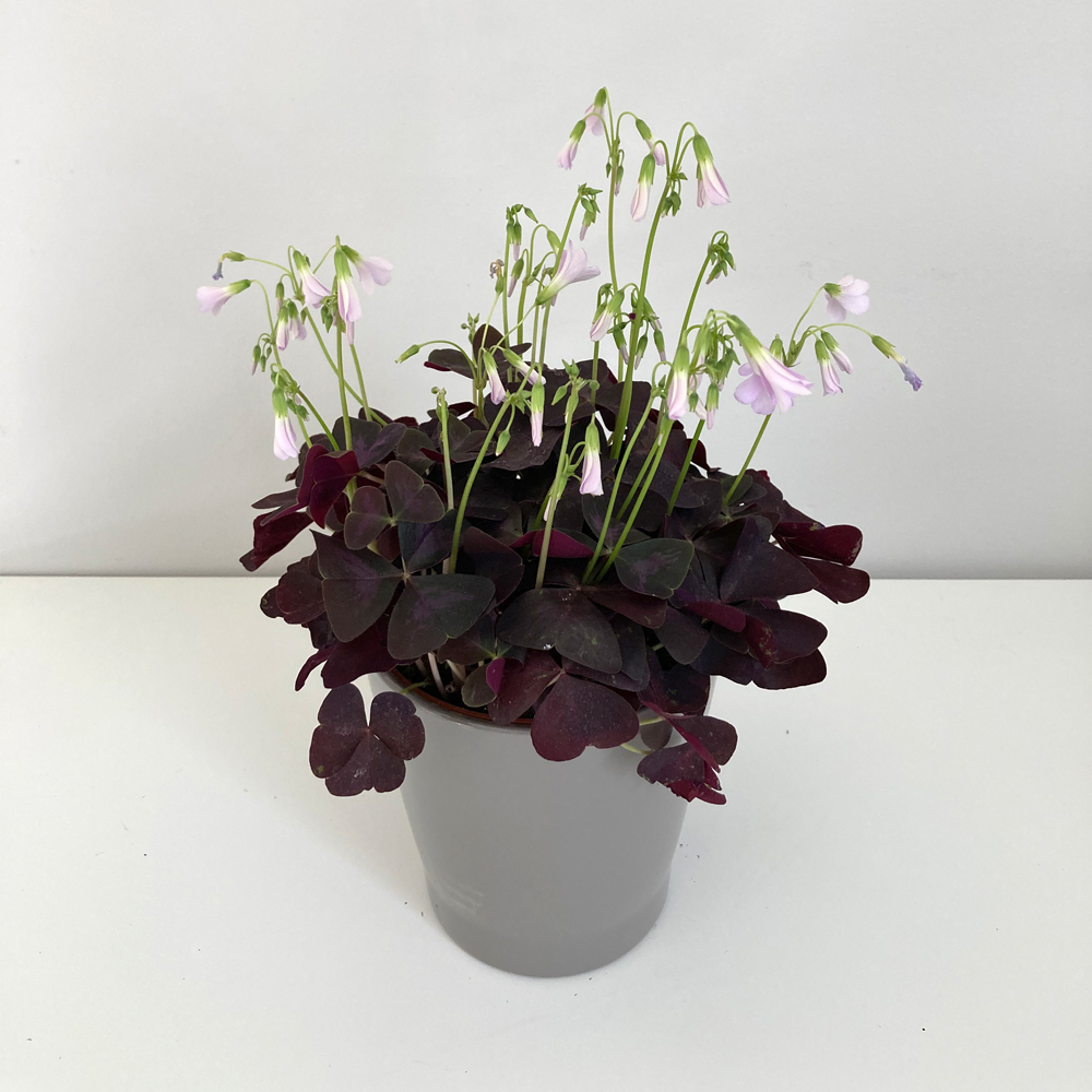 Oxalis Triangularis - False Shamrock