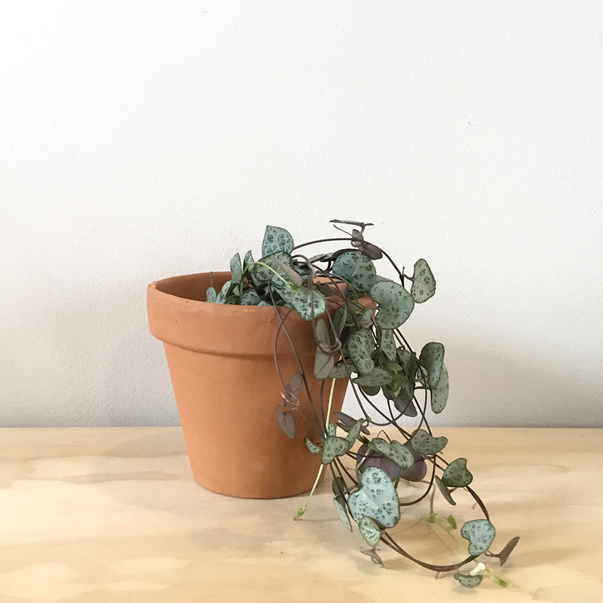 Ceropegia Woodii - String of Hearts Plant