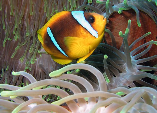Amphiprion Bicinctus (Red Sea)