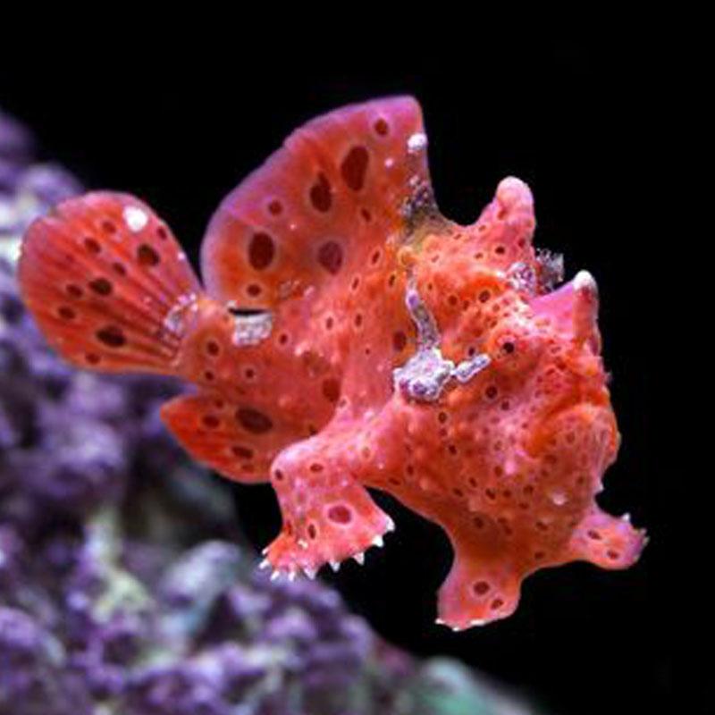 Antennarius Maculatus (Red)