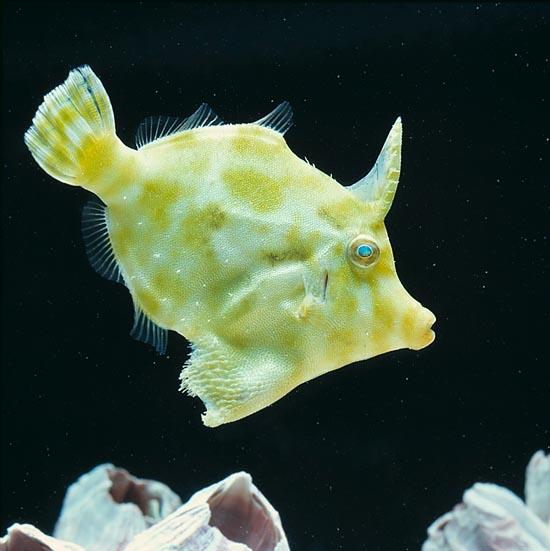 Acreichthys Tomentosus (Oppdrett)