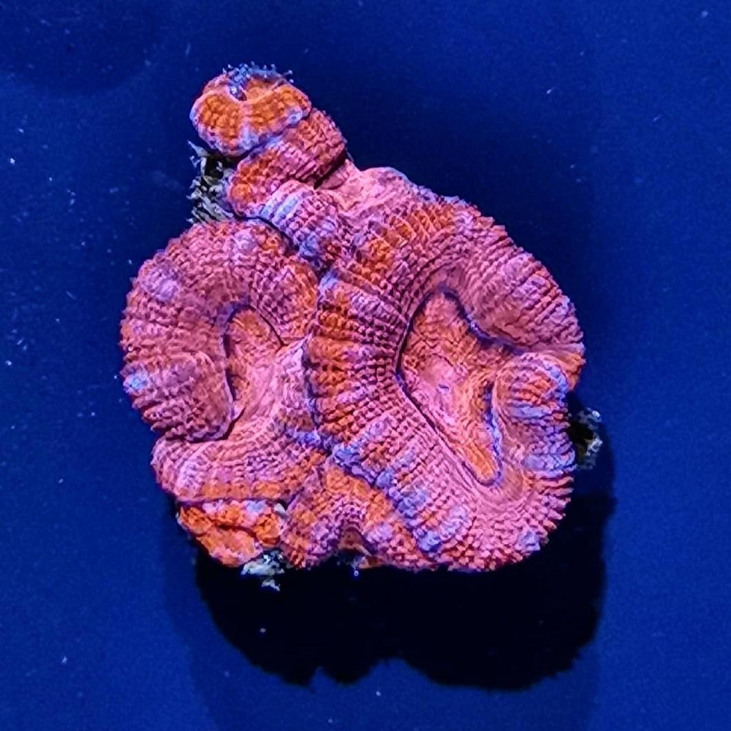5 - Acanthastrea Lordhowensis