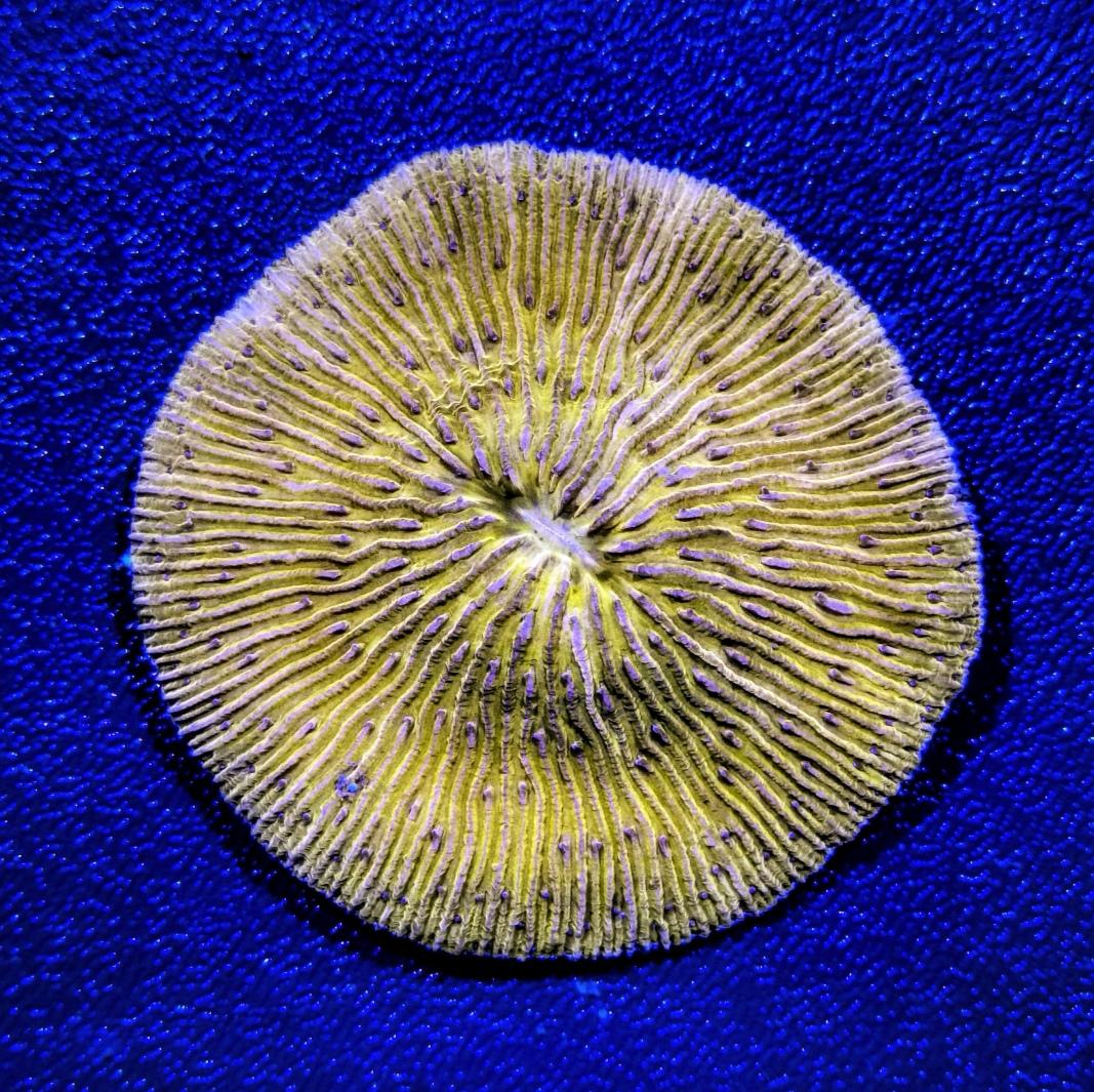 12- Fungia sp.