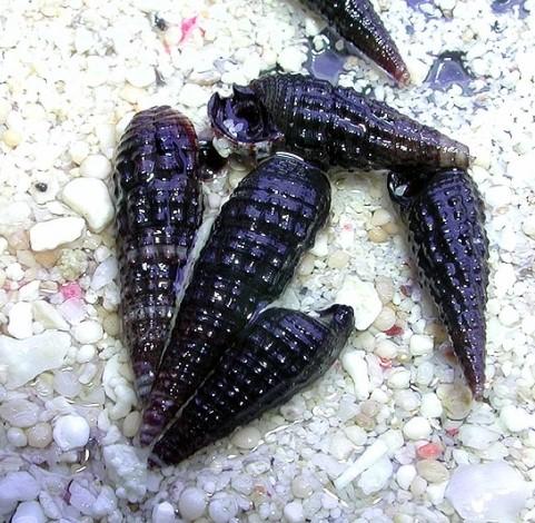 Cerithium sp. Black X-Large