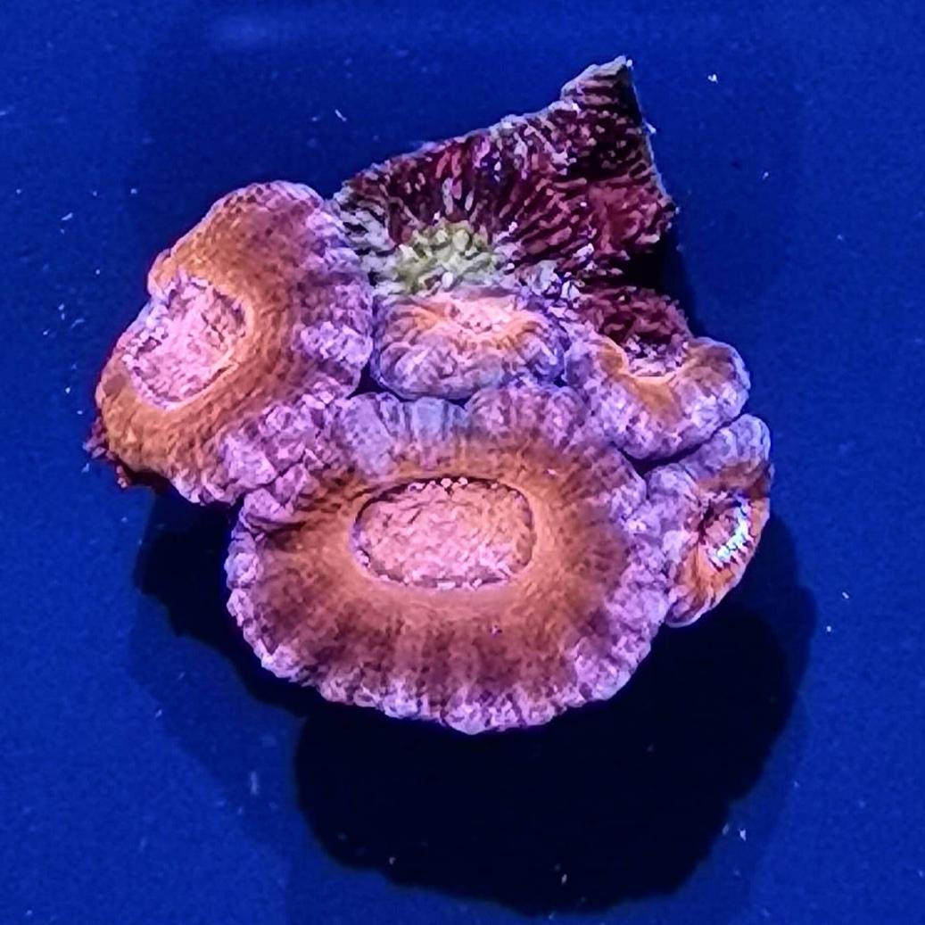 2 - Acanthastrea Lordhowensis