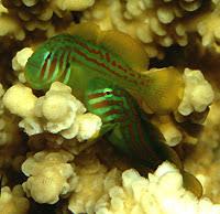 Gobiodon Rivulatus