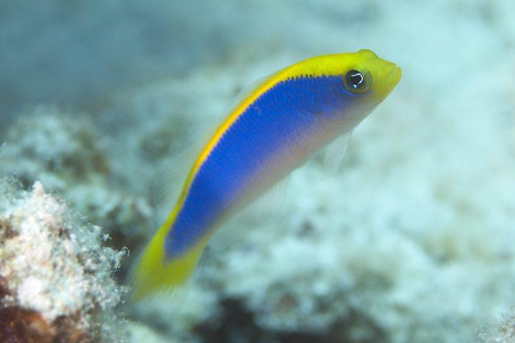 Pseudochromis Flavivertex (Oppdrett)