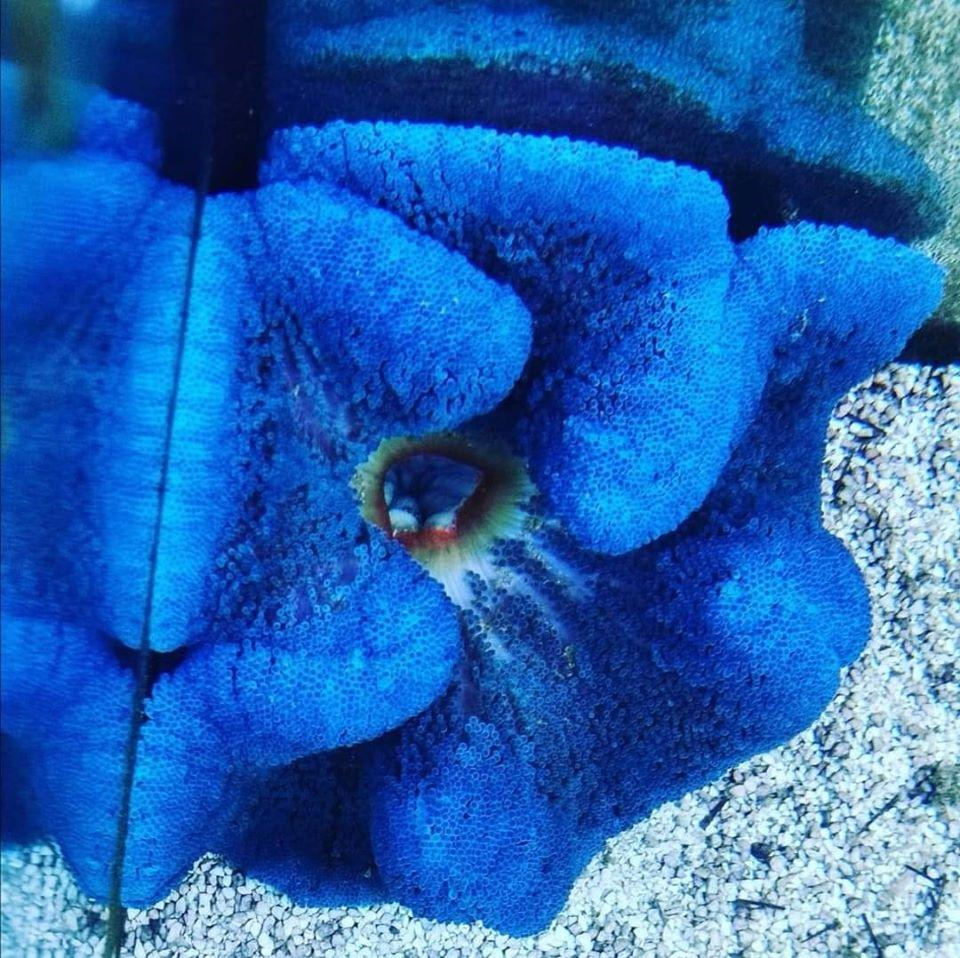 -Stichodactyla Haddoni, Blue
