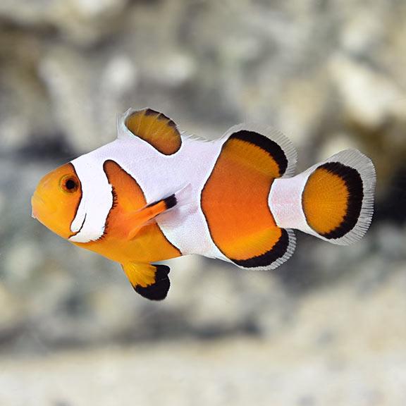 Amphiprion ocellaris, DaVinci Clownfish M