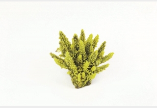 Staghorn Yellow/Purple Acropora sp.