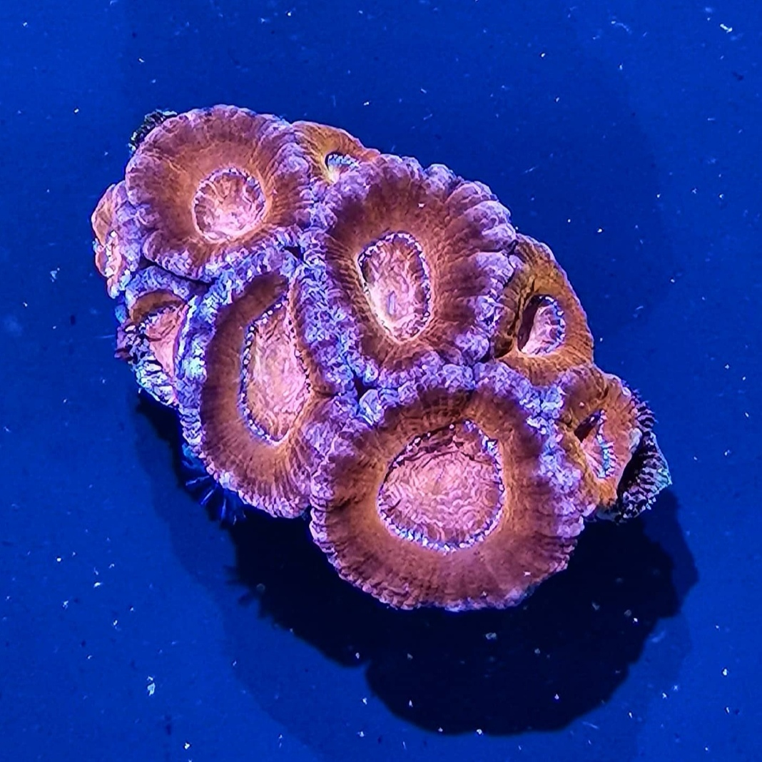 7 - Acanthastrea Lordhowensis