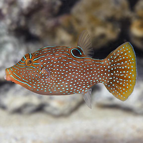 Canthigaster Solanddri