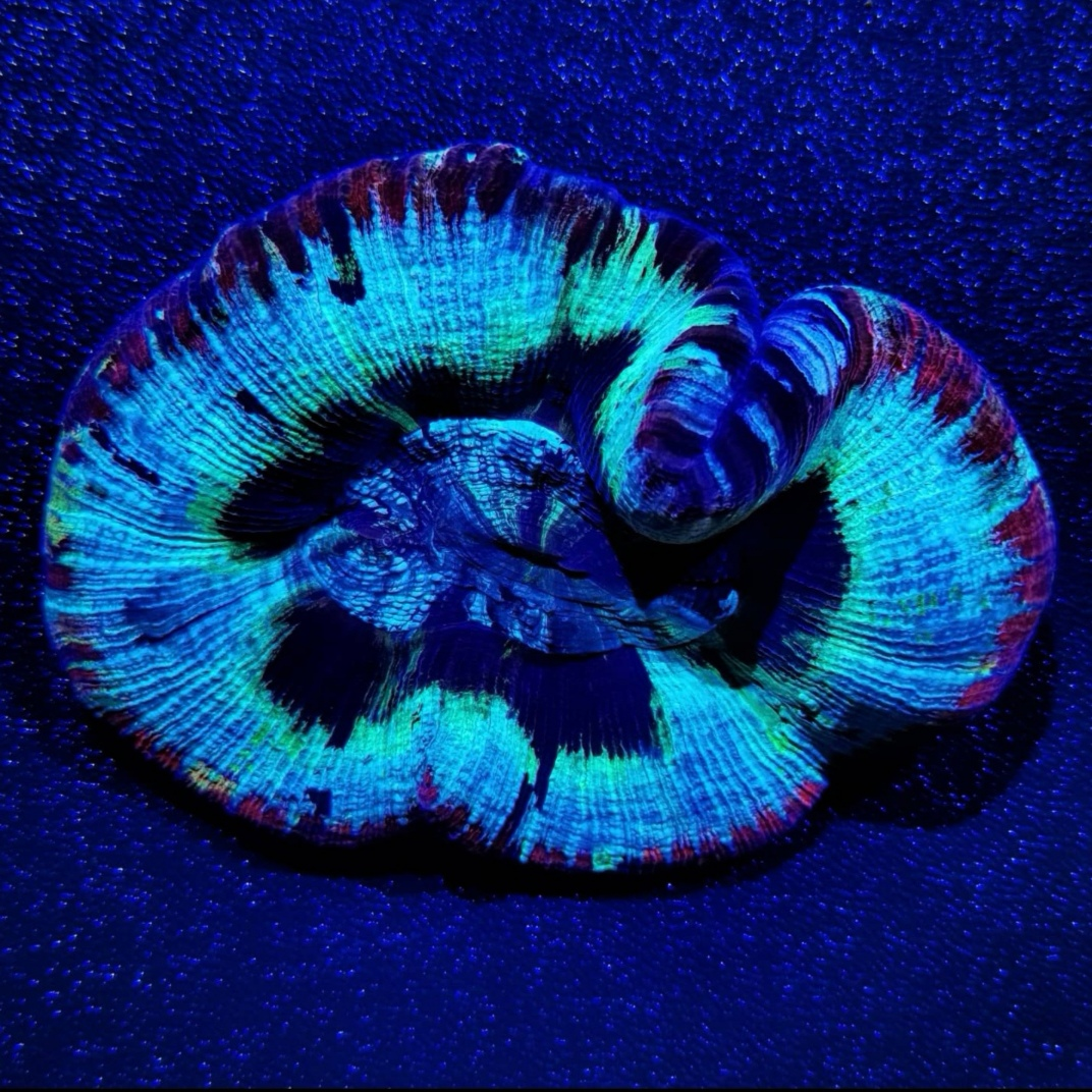 16 - Wellsophyllia sp.
