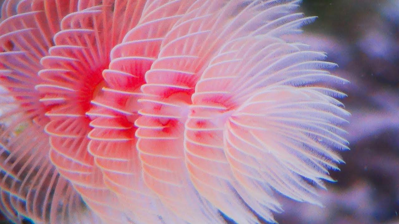 Protula Bispiralis Pink