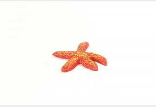 Red Starfish Fromia sp.