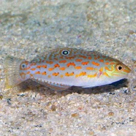 Halichoeres Timorensis