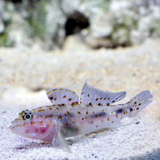 Fusigobius Sp.