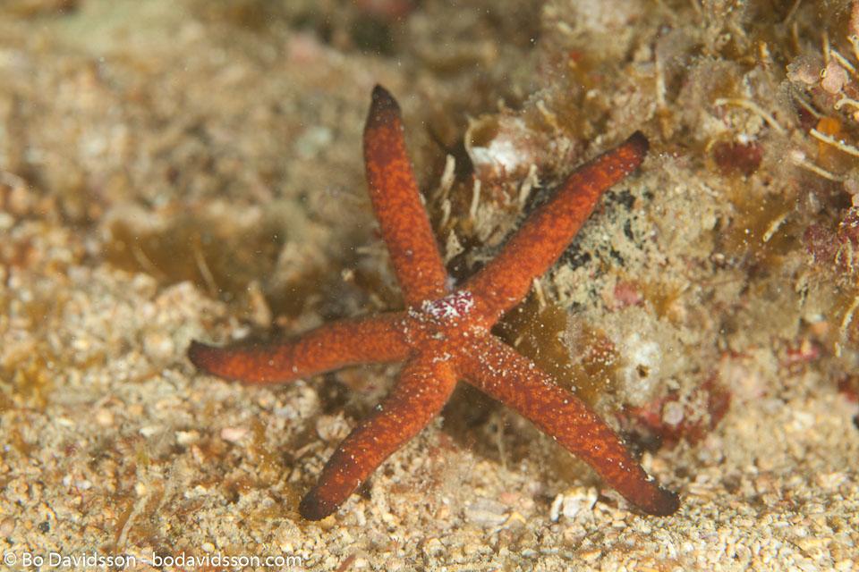 Linckia sp (Orange,Brown)