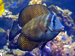 Zebrasoma Desjardini (Red Sea)