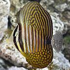 Zebrasoma Desjardini