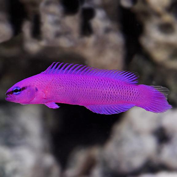 Pseudochromis Fridmani (Oppdrett)