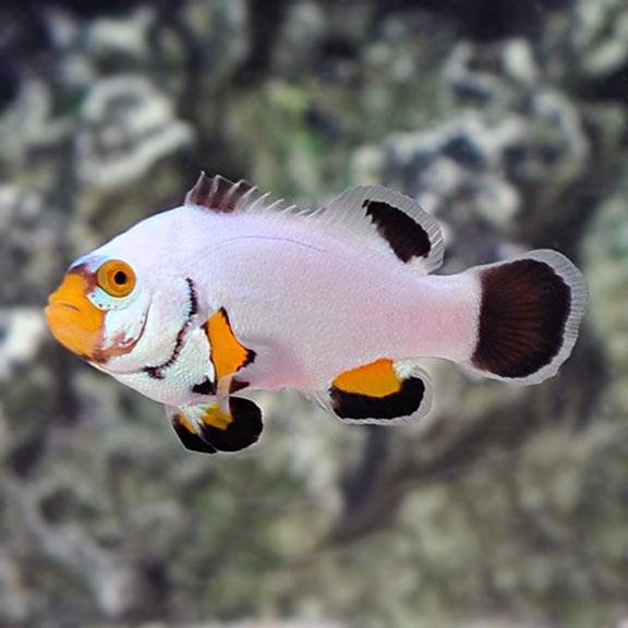 Amphiprion Percula, Platinum Clownfish Pair