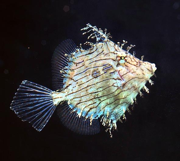 Chaetodermis Penicilligerus