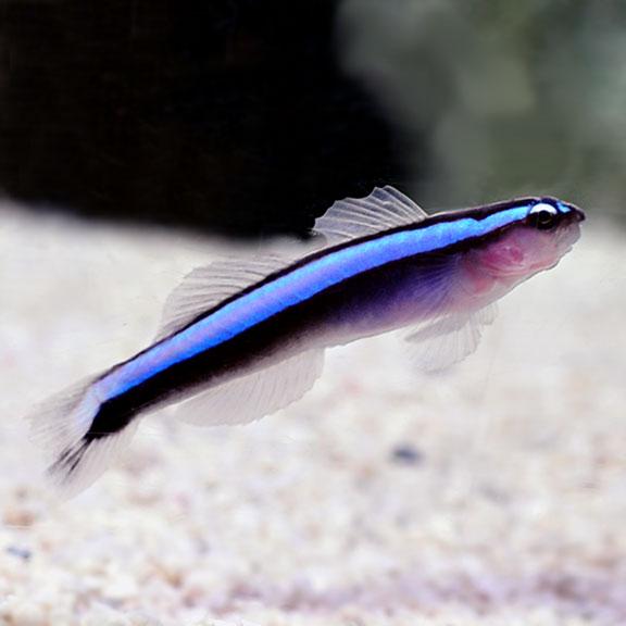 Elacantinus Oceanops (oppdrett)